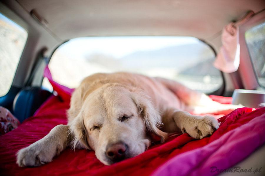 Dog Honda Odyssey