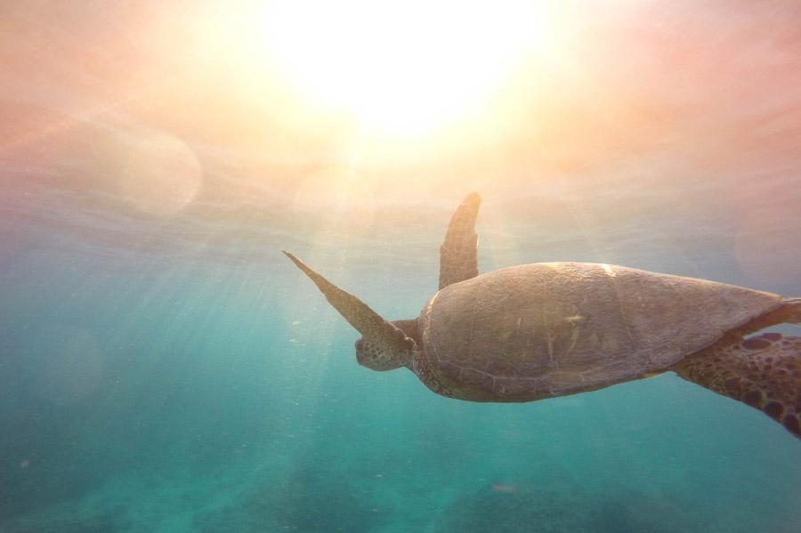 caretta żółw